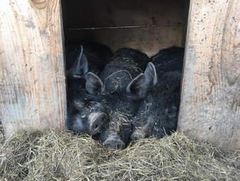 pig rescue new york