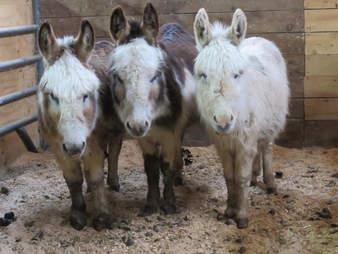donkey rescue new york