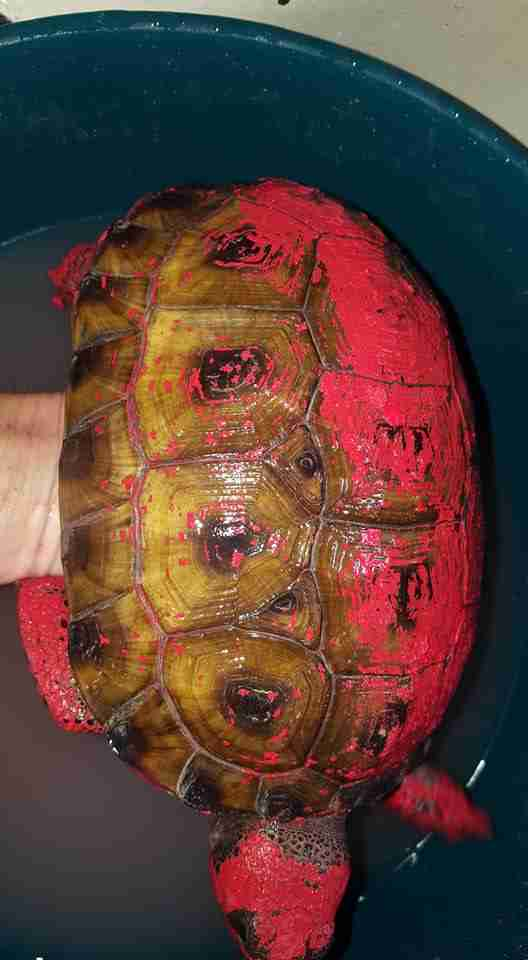 Rescued tortoise inside tub of water