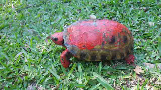 Rescue tortoise with red paint on him