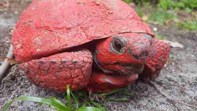 Gopher tortoise covered in red paint