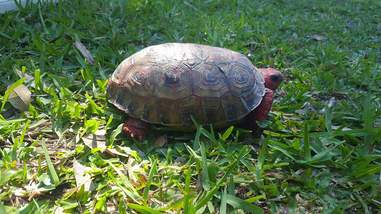 Rescue tortoise on the grass