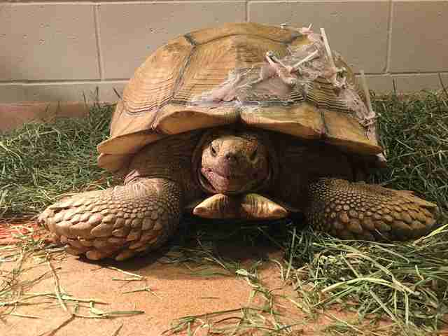 tortoise shell broken california rescue