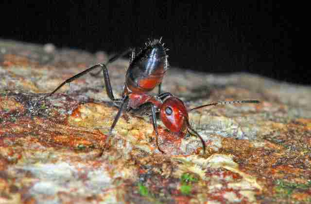 Exploding ant discovered in Borneo
