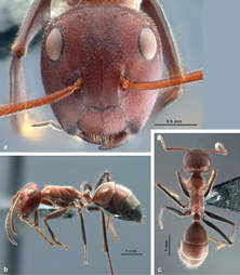 New species of exploding ant discovered in Borneo