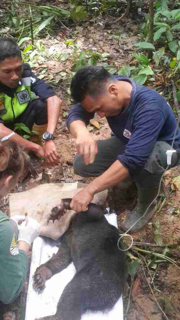 Sun bear saved from snare in Borneo