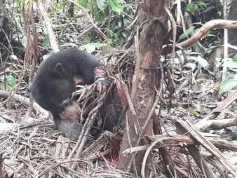 Sun bear caught in snare in Borneo