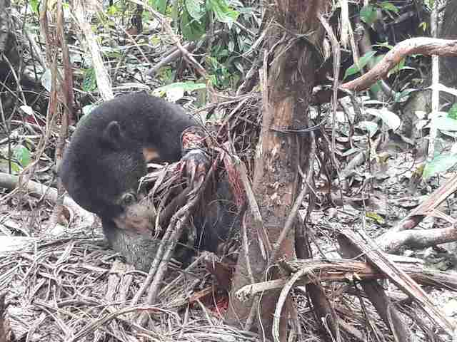 Sun bear caught in snare in Borneo