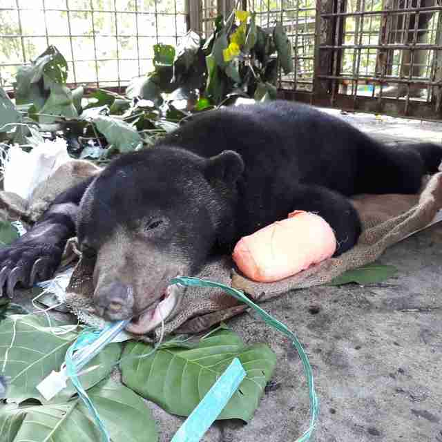 Sun bear who lost paw to snare trap in Borneo