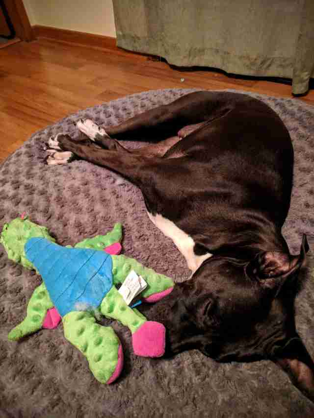 dog destroys every toy except for one