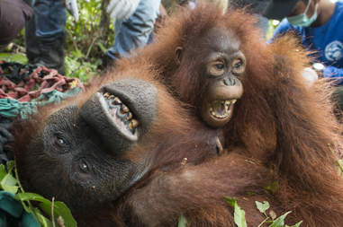 Baby orangutan clinging to mother
