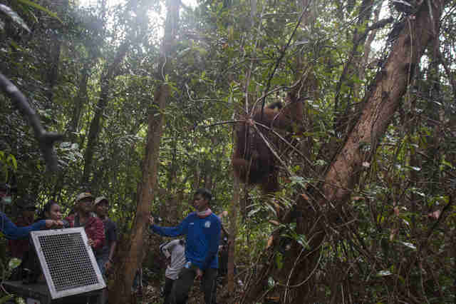 Mother and baby orangutan going into the forest