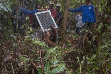 Rescuers releasing mother orangutan and baby