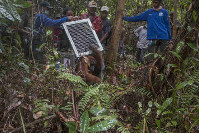 Rescuers releasing mother orangutan and baby