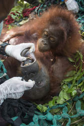 Baby orangutan watching mother getting examined