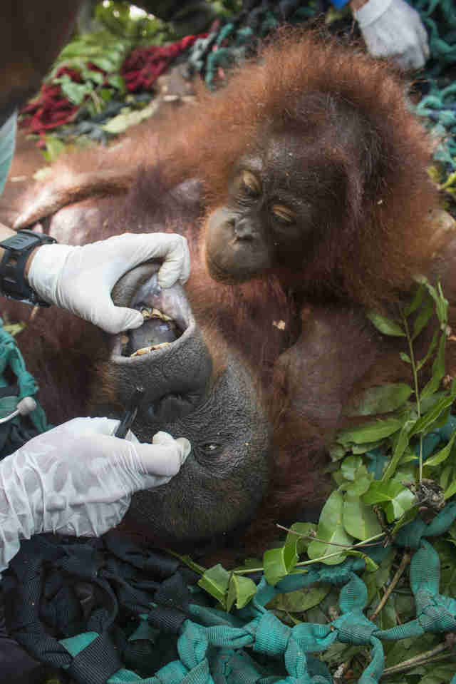 Baby orangutan watching mother getting examined