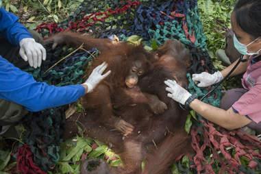 Baby orangutan clinging to her mother