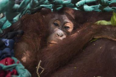 Baby orangutan clinging to her mom