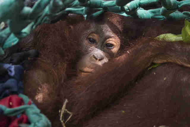 Baby orangutan clinging to her mom