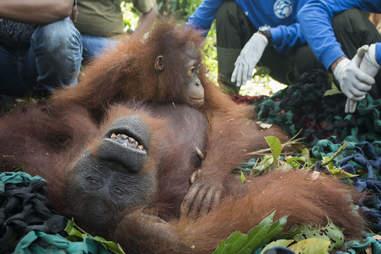 Baby orangutan holding onto mom