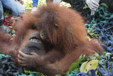 Mother orangutan and baby on the ground
