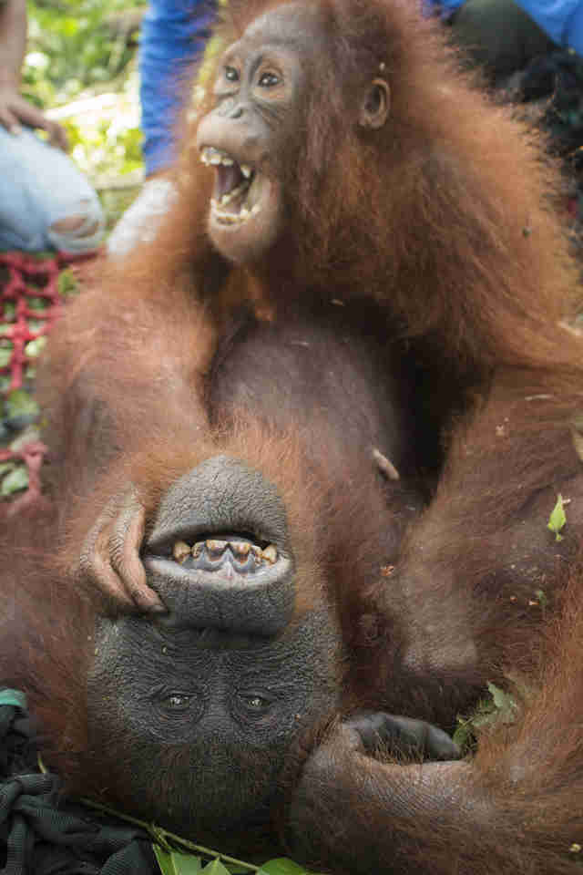 Baby orangutan clinging to mother