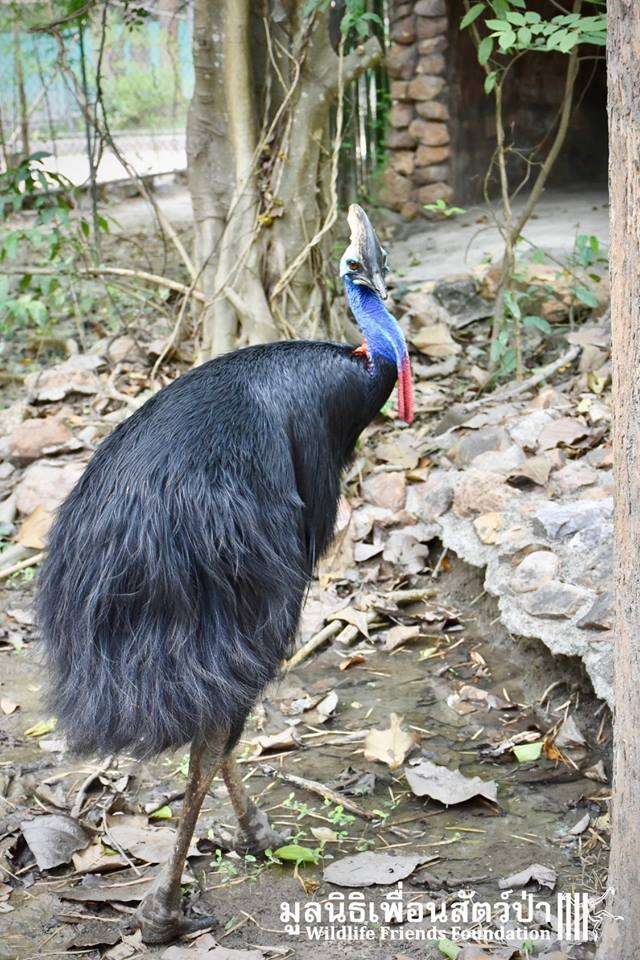 southern cassowary dangerous