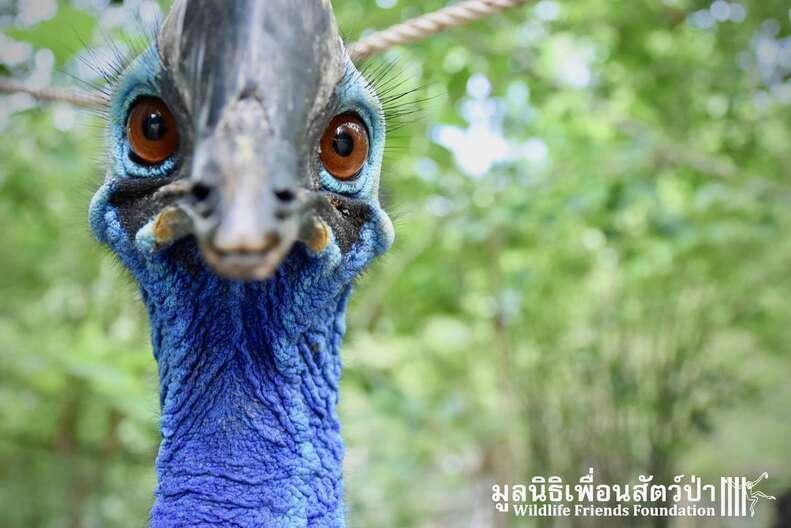 cassowary southern bird dangerous