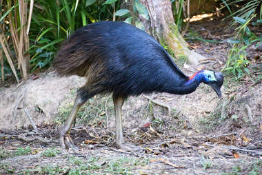 cassowary dangerous australia