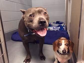 blind dog guide pit bull virginia