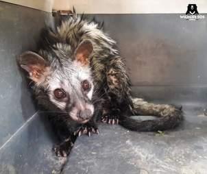 Scared, wet civet cat in box