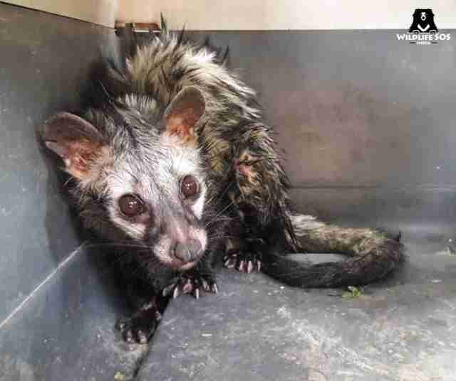 Scared, wet civet cat in box