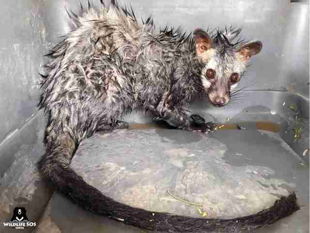 Wet, scared and cowering civet cat