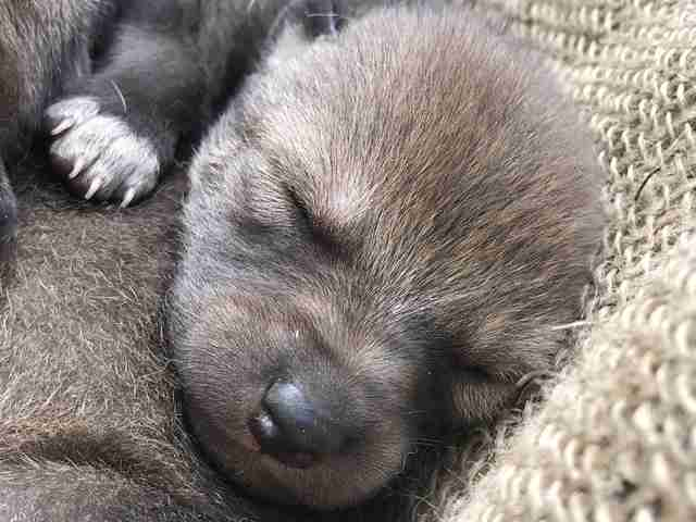 Conservation Center Welcomes Extremely Rare Red Wolf ...