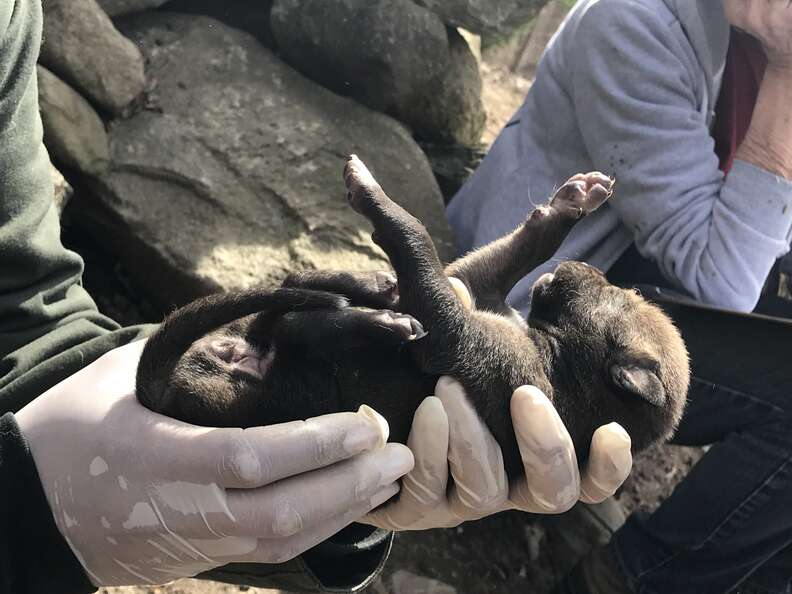 Extremely rare red wolf puppy born at the Wolf Conservation Center