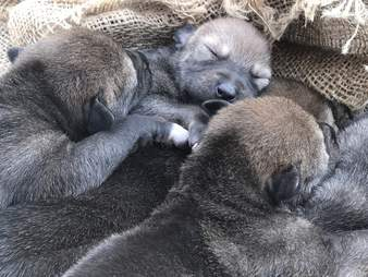 Extremely rare red wolf pups born at the Wolf Conservation Center