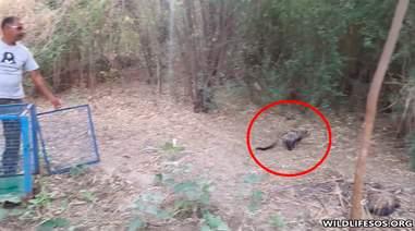 Civet cat running into the woods