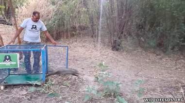 Rescuer releasing wild civet cat