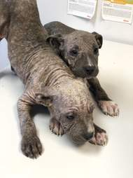 Two puppies with mange on exam table