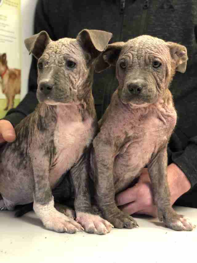 Puppies with mange