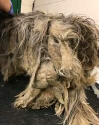matted dog rescue shih tzu indiana