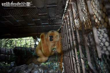 Gibbon trapped in horrible cage