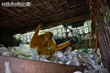Gibbon on top of pile of plastic bottles