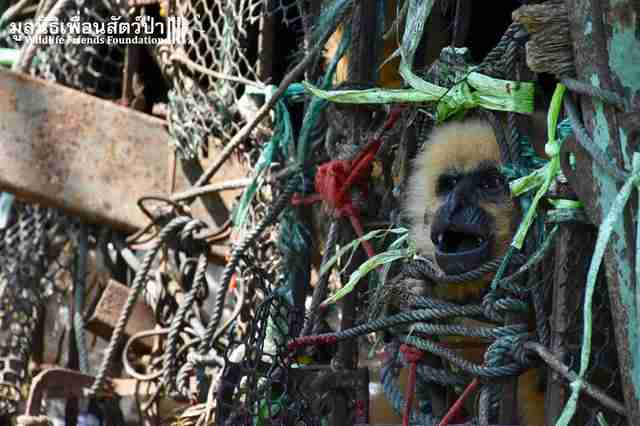 Gibbon trapped in derelict cage