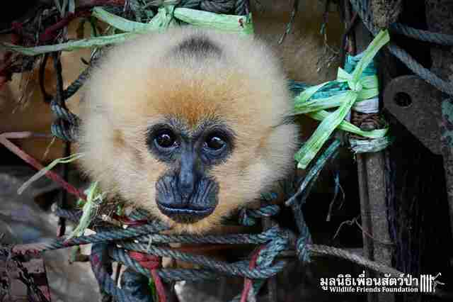 Gibbon sticking his head out of cage
