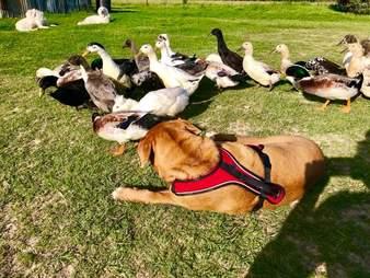 neno texas dog and ducks
