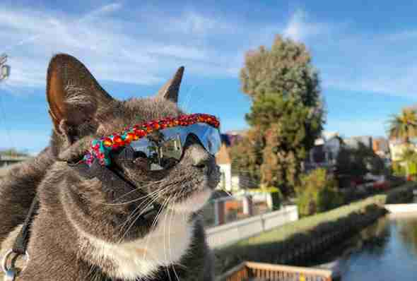 special needs cat wears sunglasses