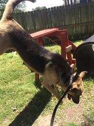 German shepherd leaping