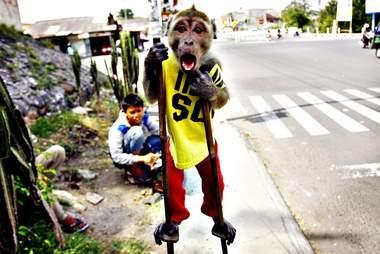 monkey abuse indonesia
