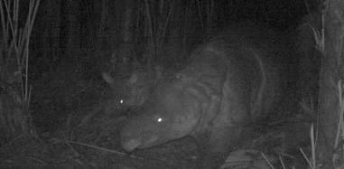 Javan rhino spotted with baby on wildlife camera